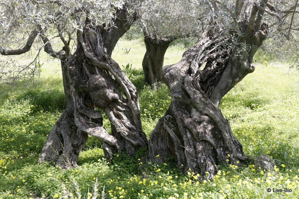 Manaki varietal olive trees - top 10 things to do on Poros island and vicinity